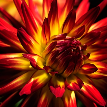 Dahlias-(368-of-408)