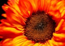 Sunflower-Dream