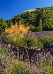 Lavender-(109-of-390)