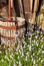 Lavender-(159-of-390)