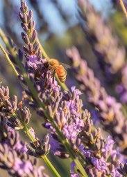Lavender-(513-of-68)
