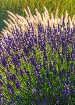 Lavender-(97-of-390)-2