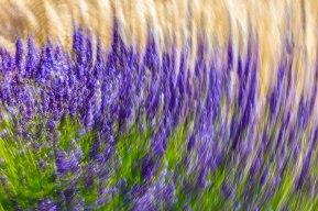Lavender-(199-of-390)