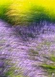 Lavender-(91-of-390)-2