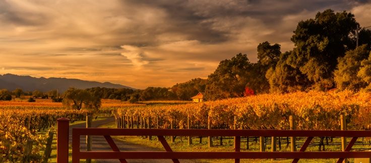 Sunset over the Vines of Screaming Eagle